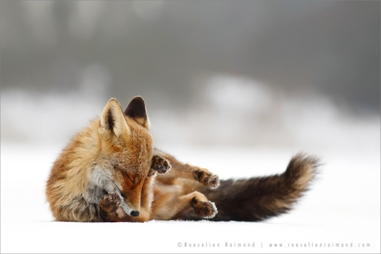 red_fox_winter