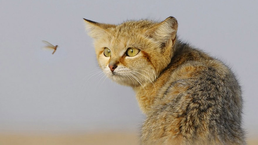 cat-staring-at-flying-insect-11140-1920x1080