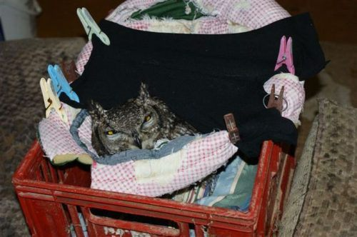 owl saved cat friends 11 Owl gets saved and spends everyday repaying its rescuer (21 Photos)