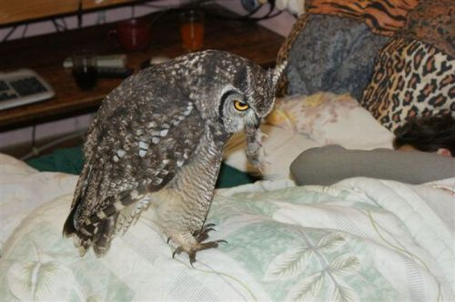 owl saved cat friends 20 Owl gets saved and spends everyday repaying its rescuer (21 Photos)