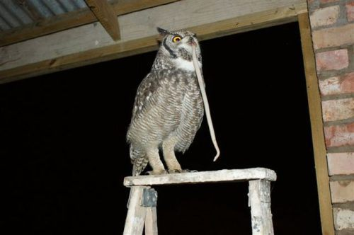owl saved cat friends 4 Owl gets saved and spends everyday repaying its rescuer (21 Photos)