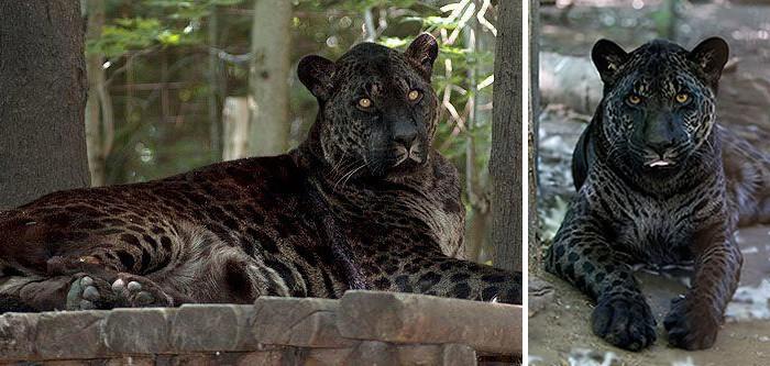 Картинки по запросу Яглев - гибрид ягуара и львицы