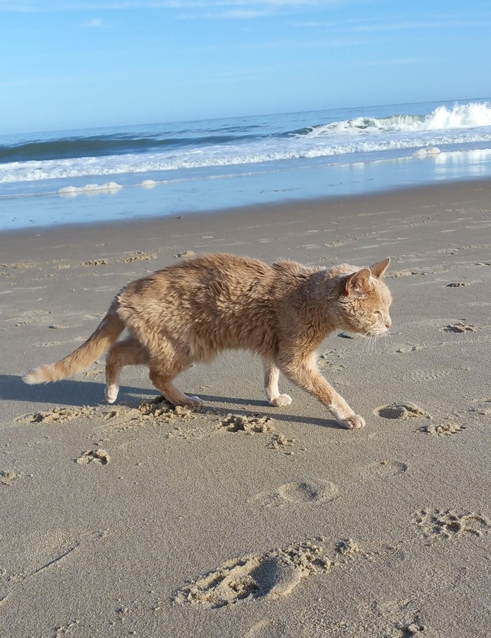 21-year-old-cat-adopted-kidney-failure-tumor-tigger-adriene-buisch-8
