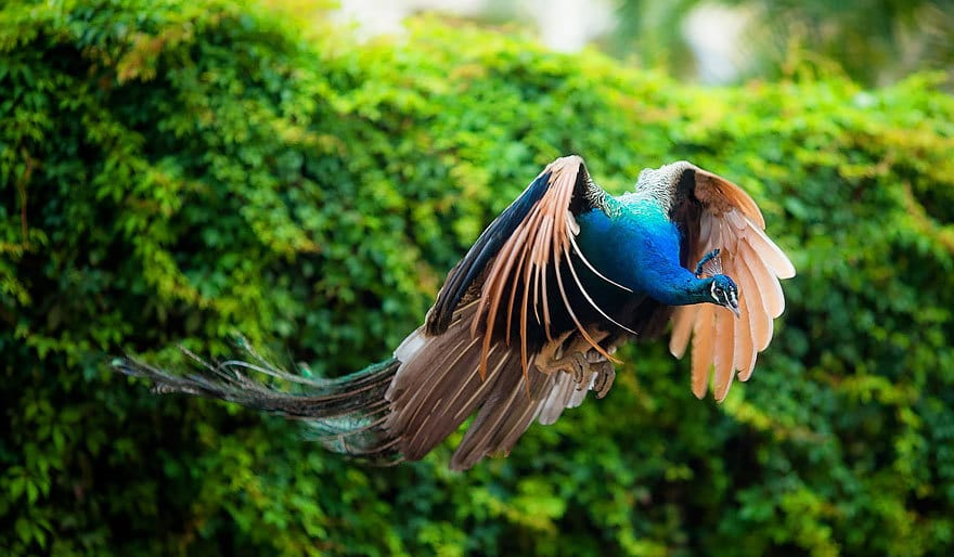 flying-peacock-14