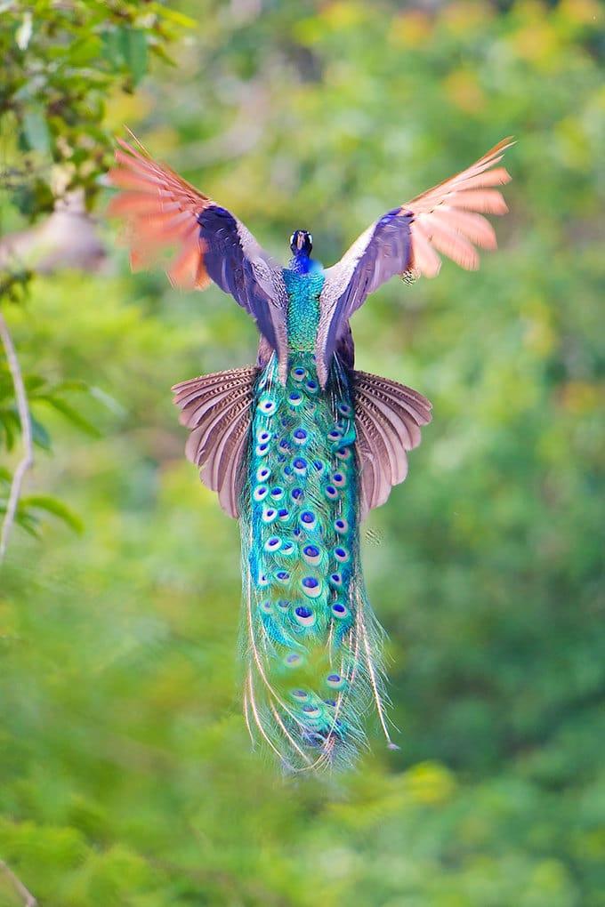 flying-peacock-9