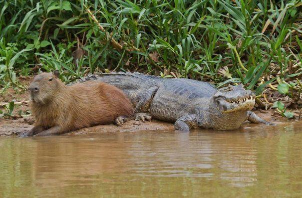 Animals Love Capybaras
