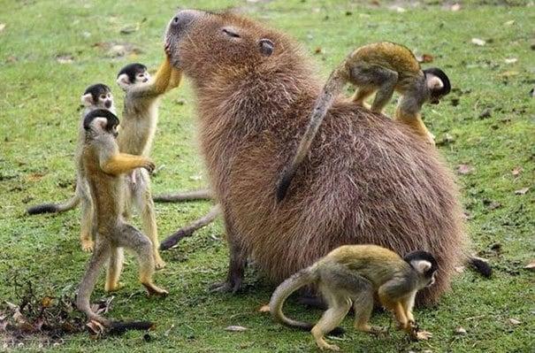 Capybara And Animal