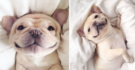 cute-bulldog-smiling-sleeping-dog-narcoleptic-frenchiebutt-millo-2