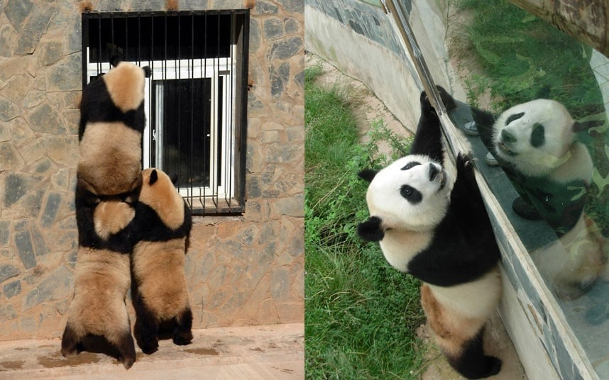 "Three pandas moved after 2008 earthquake to return home to Wolong panda research center, Sichuan Province, China - 04 Jul 2012...Mandatory Credit: Photo by Quirky China News / Rex Features (1790409f) Panda looking through a window at the Yunnan Wild Animals Park Three pandas moved after 2008 earthquake to return home to Wolong panda research center, Sichuan Province, China - 04 Jul 2012 Three female giant pandas are to return home to the Wolong Panda Base in southwest China's Sichuan province after being moved four year ago following the huge earthquake in 2008. The Wolong panda research center was ruined completely in 2008 during the 8.1 quake that shook China's Sichuan Province. 47 researchers and staff were killed during the disaster along with many pandas. The surviving pandas were moved to zoos all around China, with Qian Qian, Si Jia and Mei Qian moving to the Yunnan Wild Animal Park. Staff there are now preparing the three pandas for their return home. Spokeswoman Li Li said: ""We are now contacting chartered planes and also are adjusting their living habits as they have got used to the weather and food in Yunnan""."
