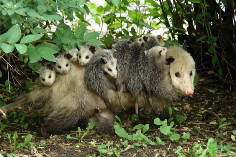 possum-babies_49102