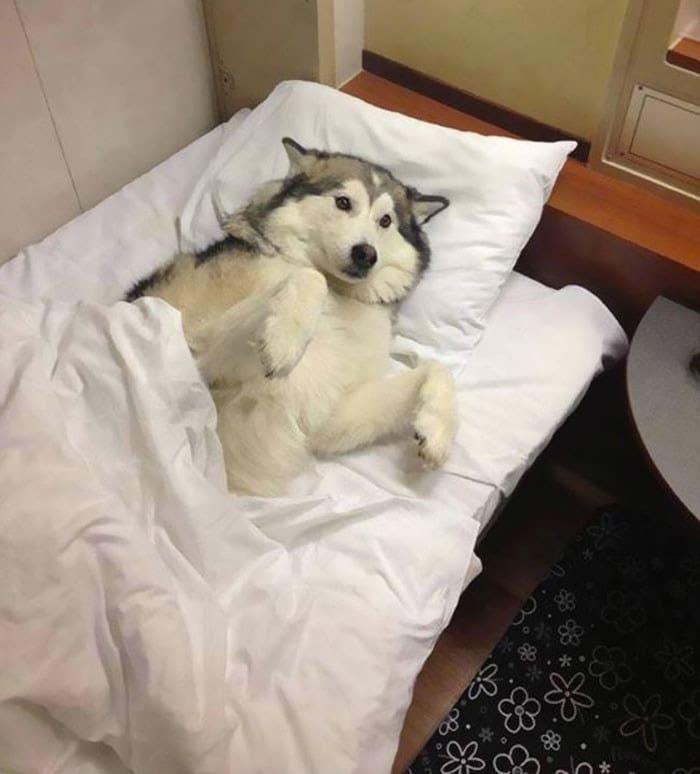 funny-husky-dog-posts-45-583438af4f7dd__700