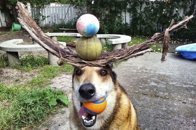 Toby balances bark and balls on his head. (Photo by Pat Langer/Caters News Agency)