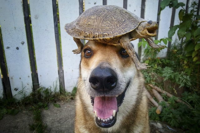 Toby balances a shellac turtle on his head. (Photo by Pat Langer/Caters News Agency)