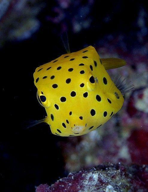 "Рыбка ""Кузовок - кубик"" аквариумные рыбки, аквариумистика"
