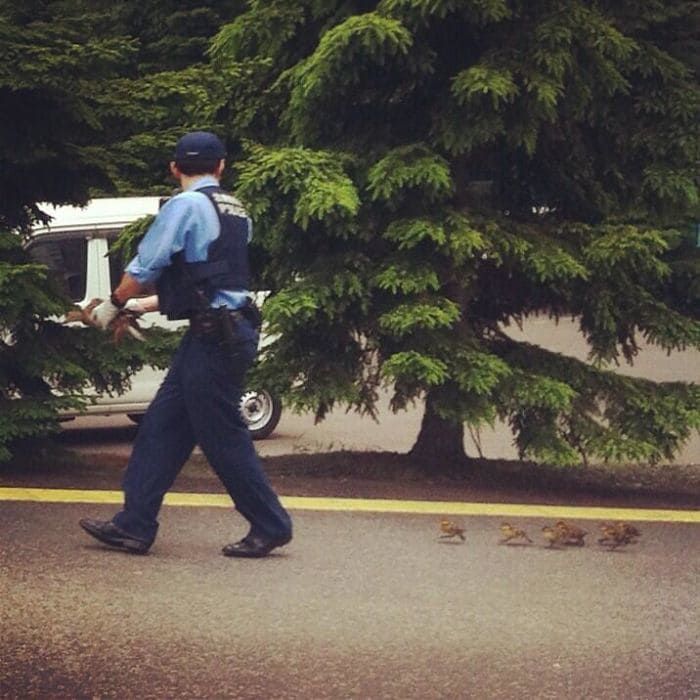 Сотрудник Оказание помощи маленьких уток, чтобы пересечь дорогу