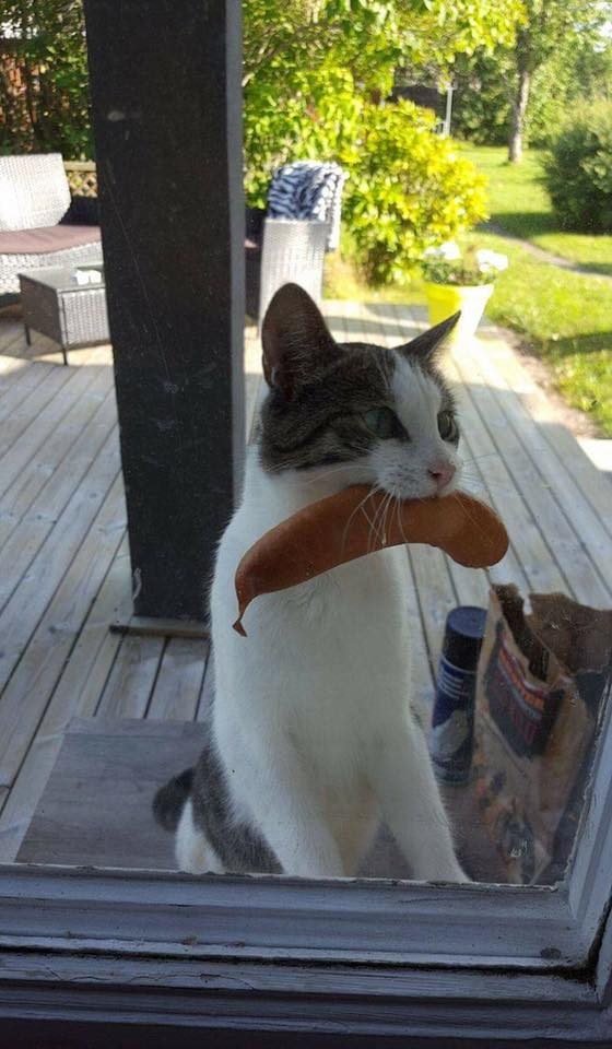 Cat returns with sausage stolen from unknown neighbors bbq...