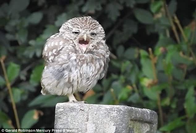 The owl has three siblings, all of which Gerald estimates to only be a matter of months old, however they are already growing independent from their parents