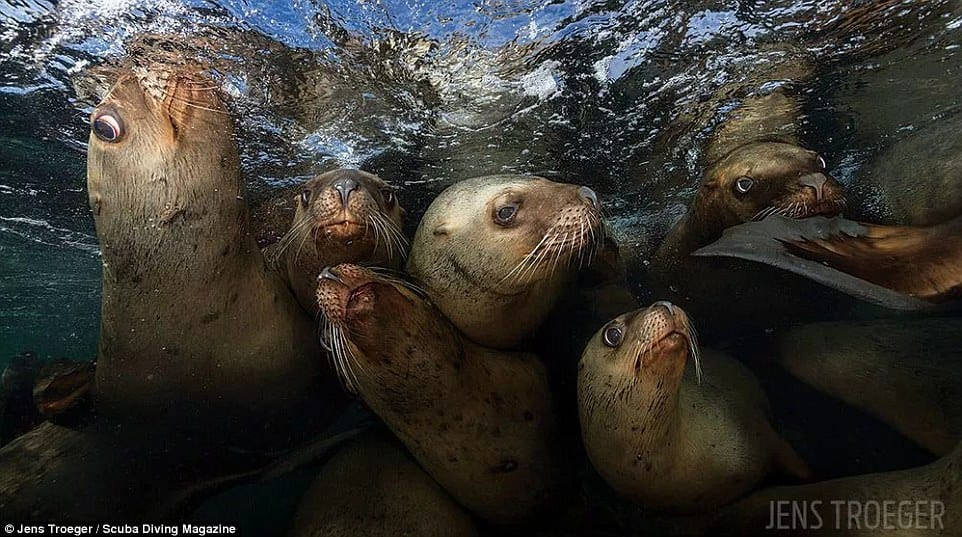 Jens Troeger heads out every winter to dive with Steller sea lions off Hornby Island in British Columbia in Canada. He says that they always get super excited when they see him in the water. This shot scored third place in the wide angle category