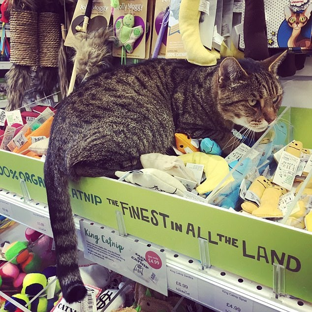 This kitty is the Catnip Quality Surveyor for a branch of Pet's Corner. According to the team, people come in just to see her