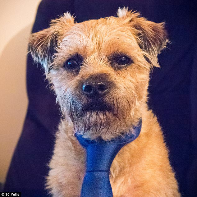 Dexter the terrier looks adorable in his silk tie as he poses for his office photo. Dexter takes on the role of