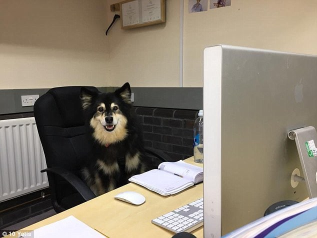 Meet Ruska, Chief of Wags & Lunch Supervisor for Fubra LTD based in Hampshire. His favourite thing, unsurprisingly, is to spend lunch with staff members