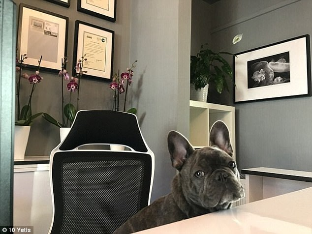The team at Axis Chiropractic say that the reason Smudge is the cutest is because he snorts like a big, snores like a bear and farts like a skunk, but cuddles like only a frenchie can