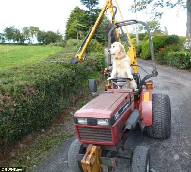 Never had a barking ticket: Rambo the golden retriever can often be seen riding a tractor around his master