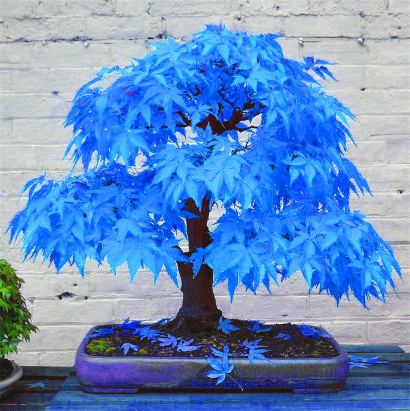 http://twizz.ru/wp-content/uploads/-000//1/50-bonsai-blue-font-b-maple-b-font-tree-seeds-Bonsai-tree-seeds-rare-sky-blue.jpg