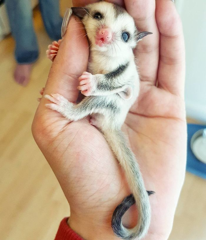 Adorable Baby Sugarglider