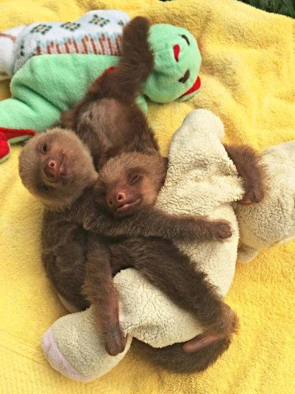 Two Baby Sloths Cuddling With A Plush