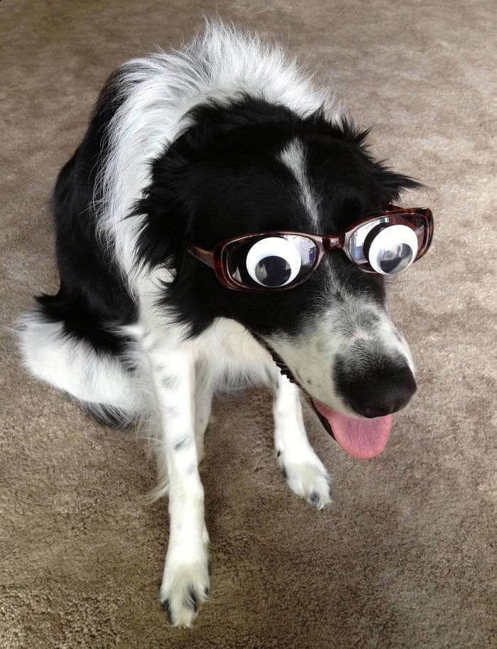 Canis Lupus Googlaris