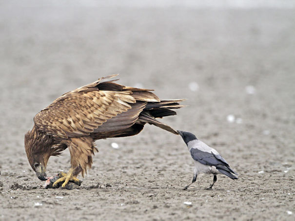 Crows Like To Pull Tails. Some Think It