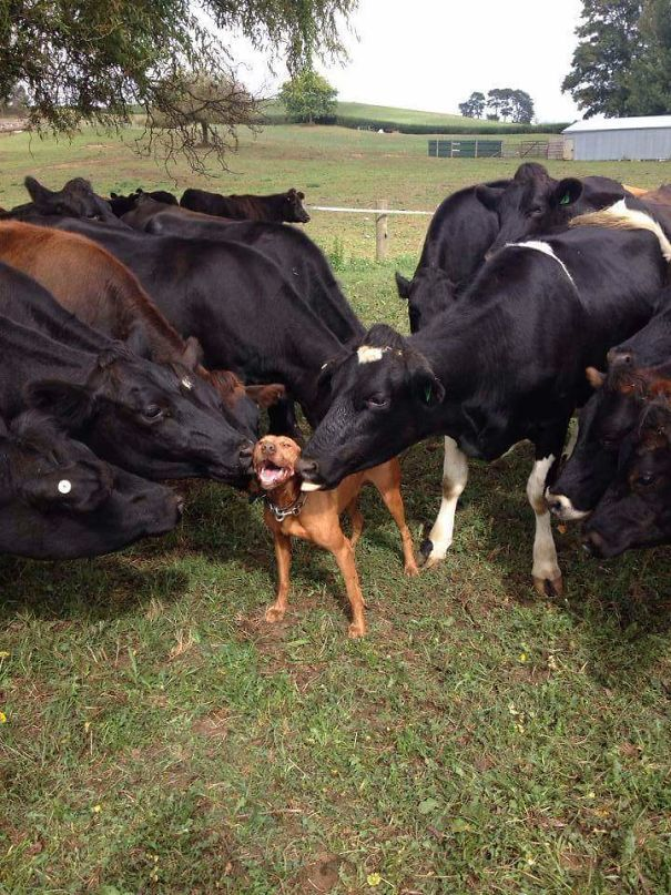 Dogs Love Cows Too