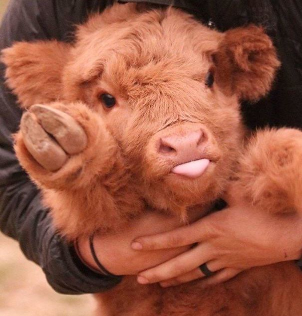 This Sweet Baby Cow
