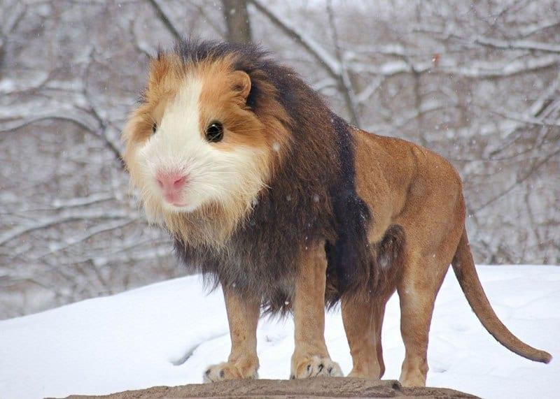Guinion - Guinea Pig + Lion