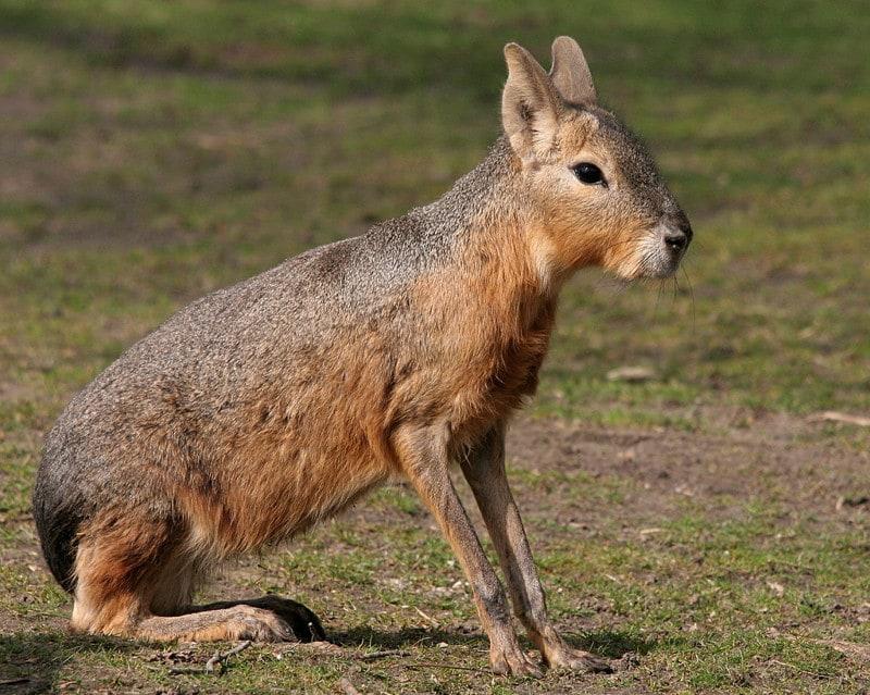 15. Патагонская мара животные, природа, странности