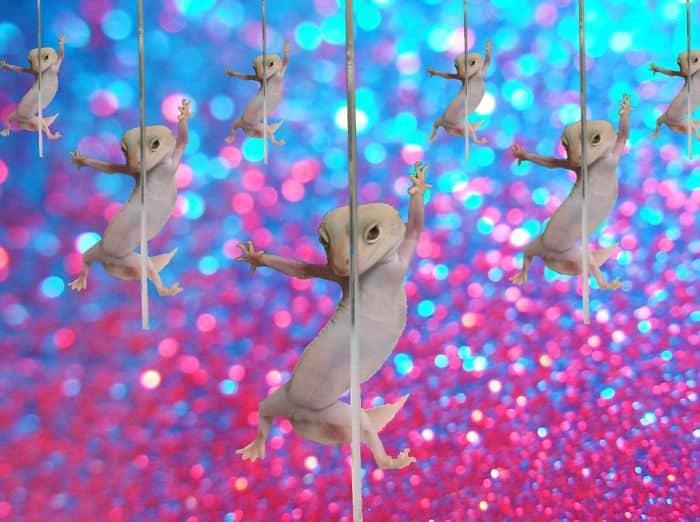 Fabulous Geckos