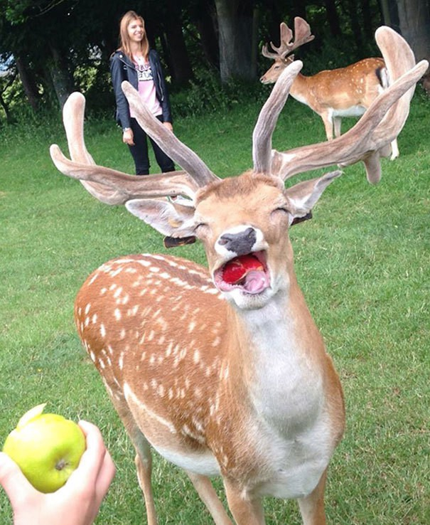 Happy Deer Eating An Apple