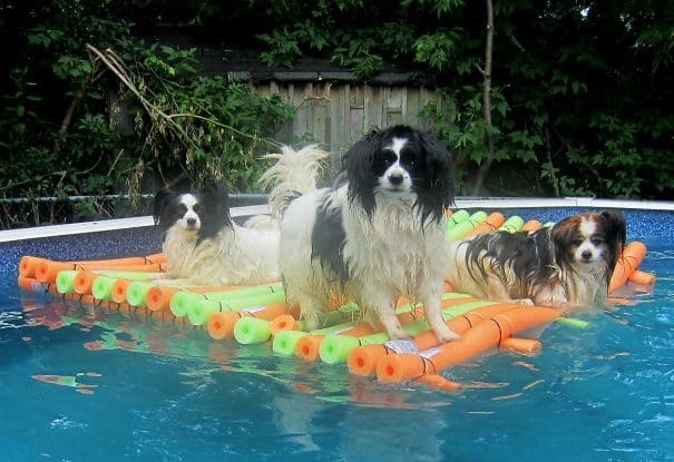 Yes I Built A Raft Out Of Pool Noodles For My Dogs. Stop Laughing At Me Like My Wife Did. When I Go For A Swim, They Jump Up And Down At The Side Of The Pool To Get On The Raft