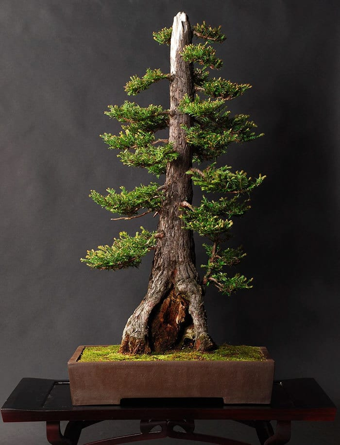 Bonsai Coastal Redwood