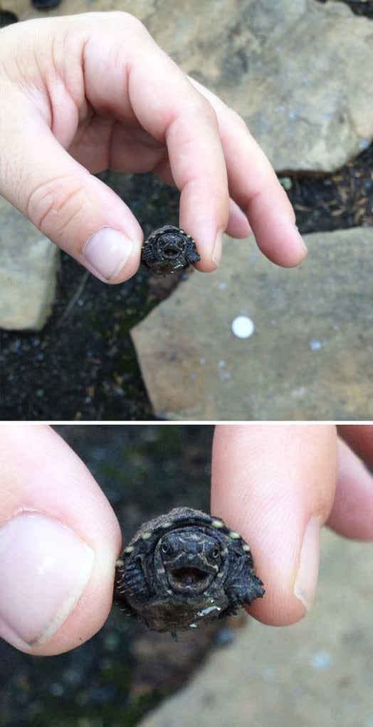 Tiny Turtle Is Angry
