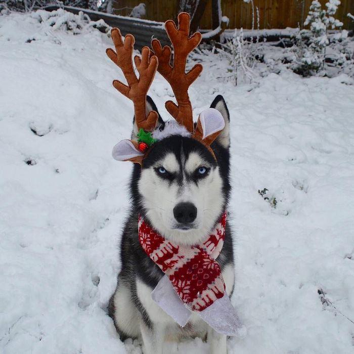 angry-husky-christmas-photoshoot-anuko-5