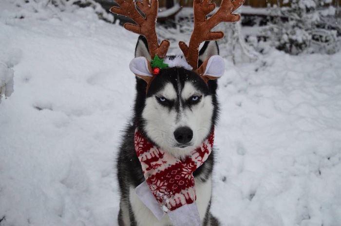 https://twizz.ru/wp-content/uploads/-000//1/angry-husky-christmas-photoshoot-anuko-6.jpg
