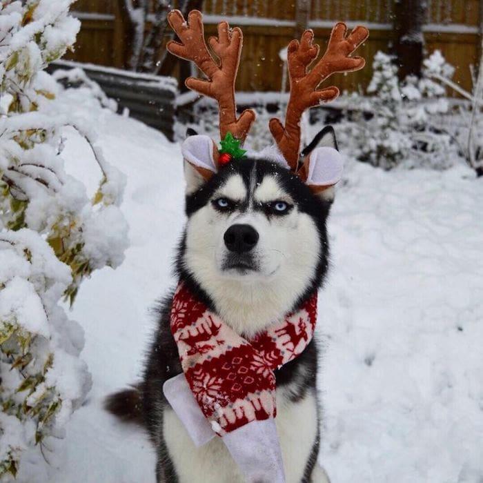 https://twizz.ru/wp-content/uploads/-000//1/angry-husky-christmas-photoshoot-anuko-7.jpg