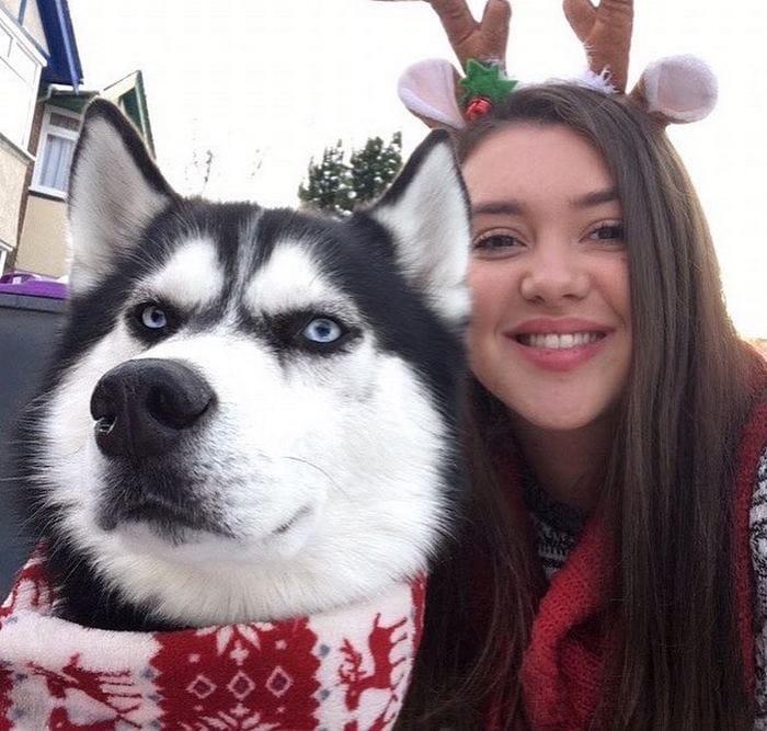 angry-husky-christmas-photoshoot-anuko-8