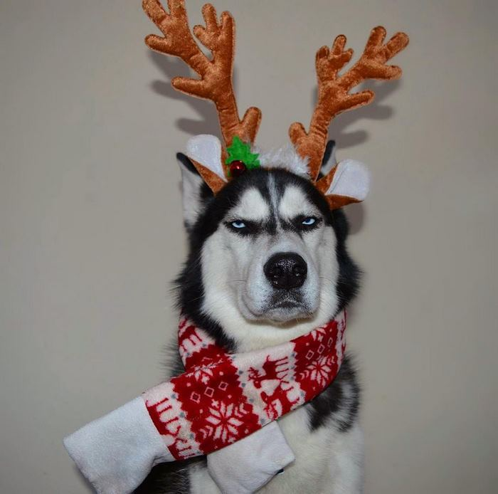 https://twizz.ru/wp-content/uploads/-000//1/angry-husky-christmas-photoshoot-anuko-9.jpg