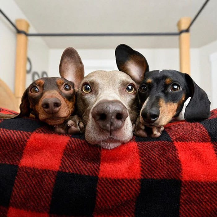 This Canine Trio Posing For Their Ballad Album