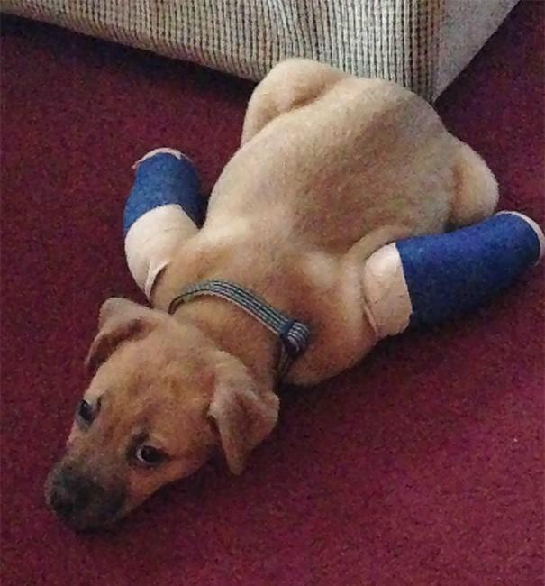Мой Rescue Pup день один из привыкает к слепков. Всего три дня спустя он начал бегать и подниматься по лестнице