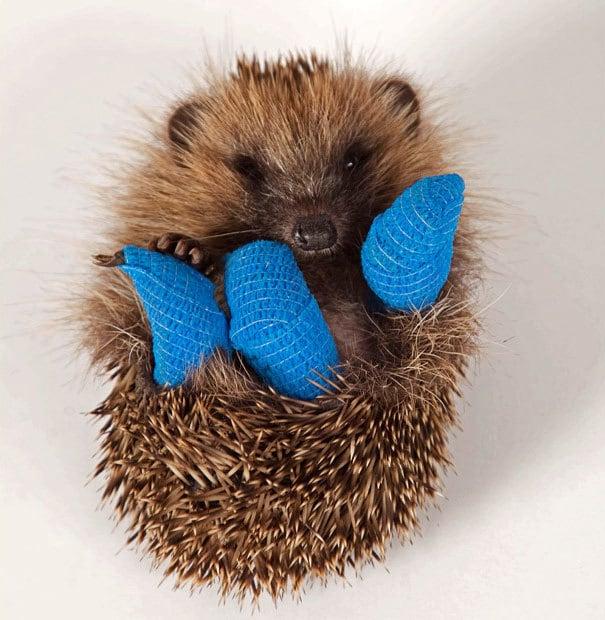 Этот 10-недельных Baby Ежик выздоравливает в больнице в Bucks После того, как он был найден в Ruislip, Middlesex, в минувшее воскресенье с тремя сломанными ногами