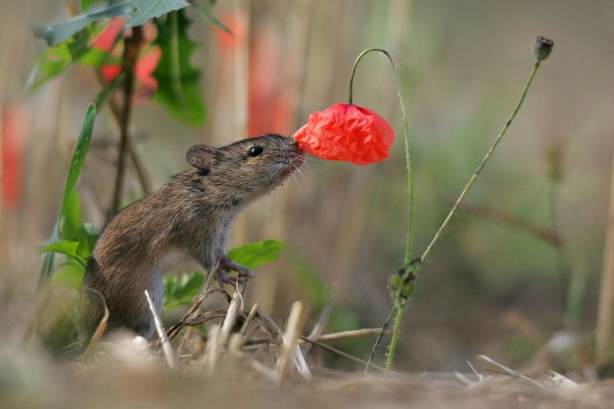 Field Mouse Smelling Flowers